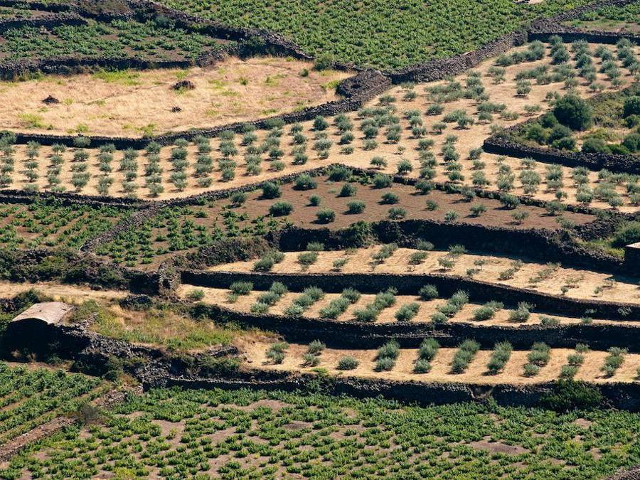 La coltivazione della vite di Zibibbo ad alberello di Pantelleria. (Marka)