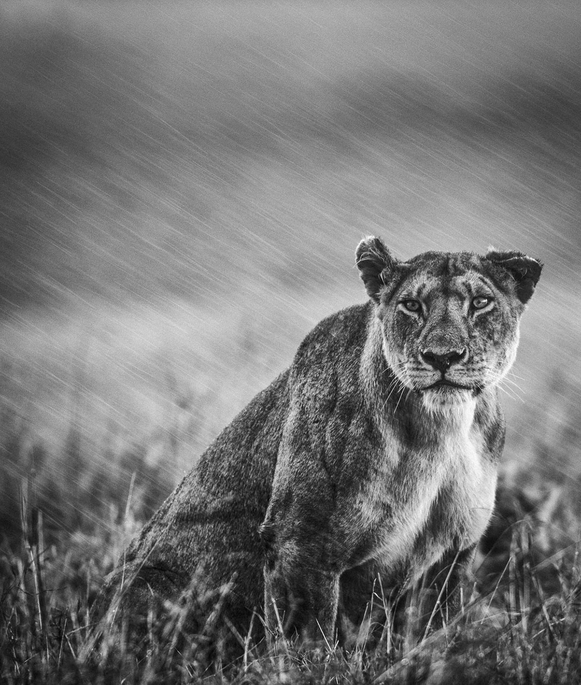 WILDLIFE. Portrait of lioness in heavy rain, 2012. Credit Federico Veronesi.
