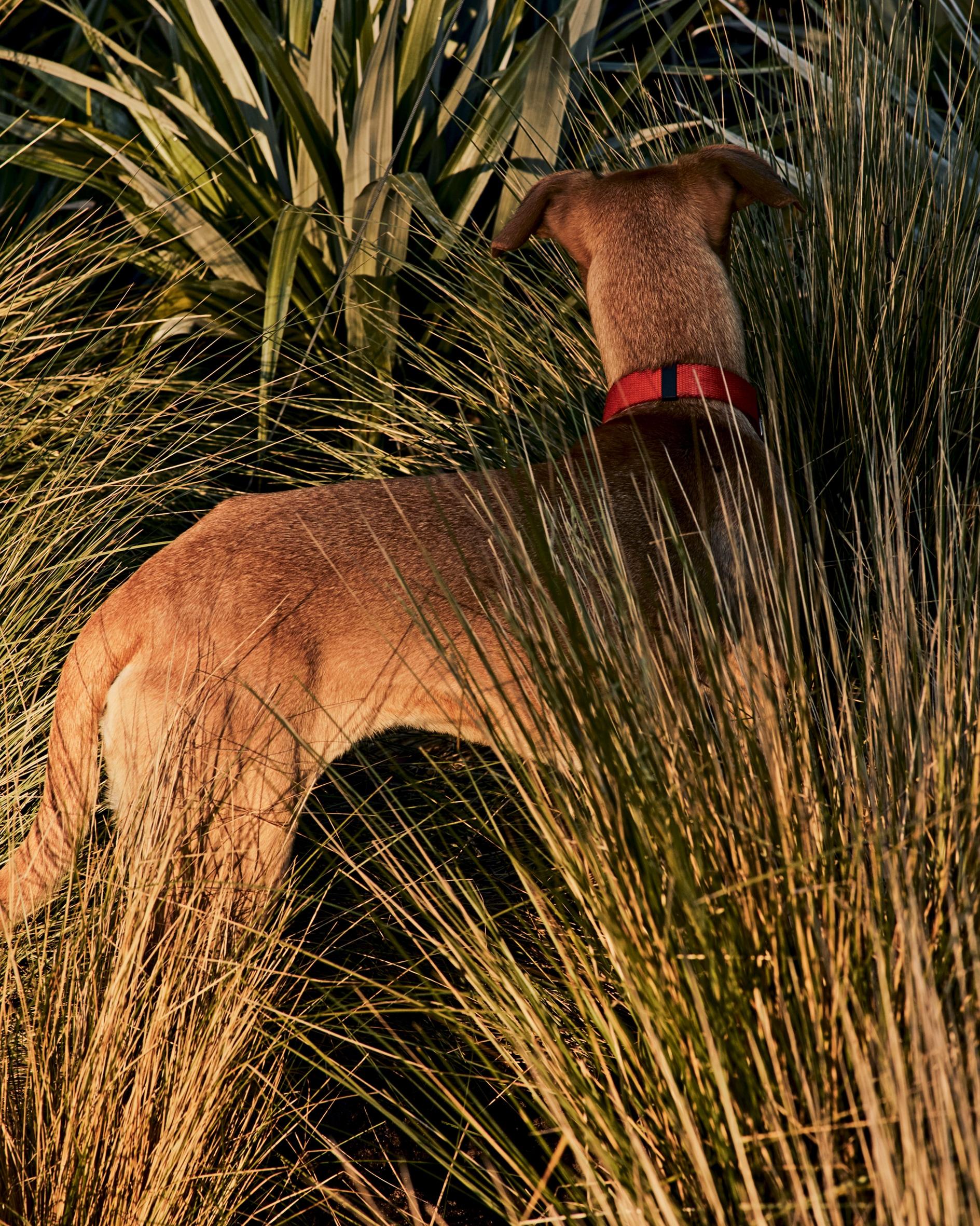 Sunny, uno dei tre cani di Adam Brown, fondatore di Orlebar Brown, nella loro casa in Cornovaglia.