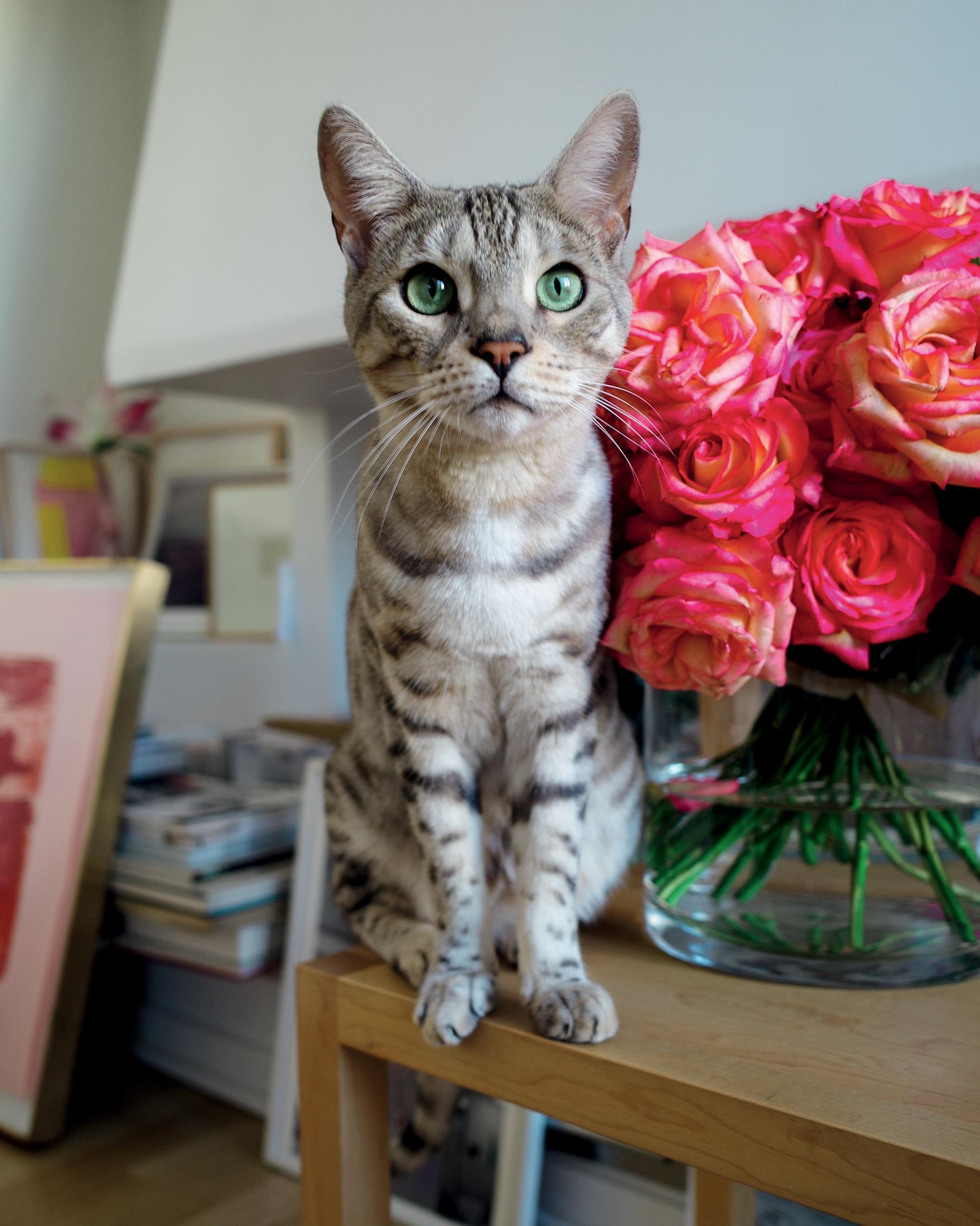 La designer di gioielli e imprenditrice Gaia Repossi, descrive i suoi gatti Bengala come i suoi migliori souvenir.  «Uno si chiama Prometheus – un nome un po' pomposo – e l'altro Matisse (nella foto)».