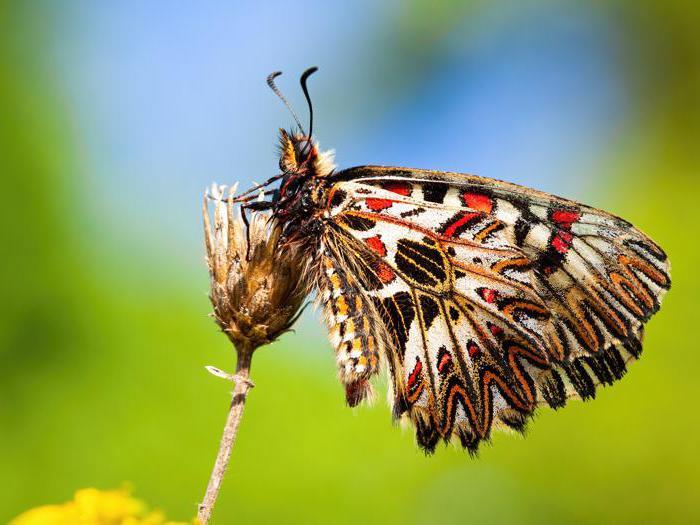 "La Zerynthia polyxena, farfalla rara ""salvata"" dalla Tav"