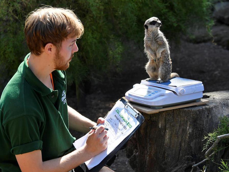 Un meerkat sulla bilancia elettronica  allo zoo di Londra, durante la prima giornata dell'«annual weight-in 2019» organizzato dalla Zoological Society of London (ZSL)  REUTERS/Toby Melville