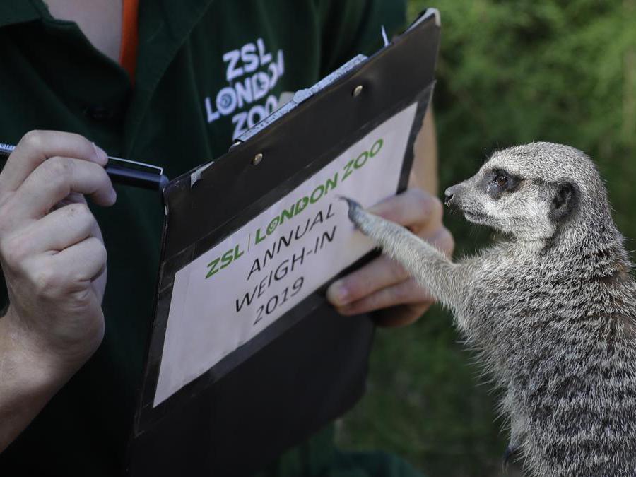 Un meerkat  incuriosito dall'attrezzatura del volontario della  Zoological Society of London (ZSL) (AP Photo/Kirsty Wigglesworth)