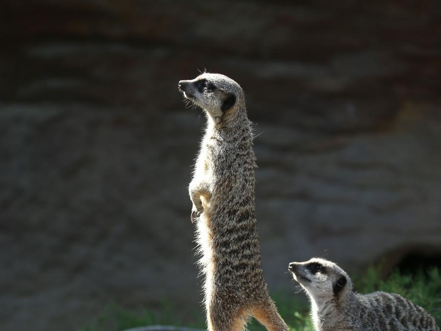 I meerkats  sulla bilancia elettronica  (Photo by Isabel INFANTES / AFP)