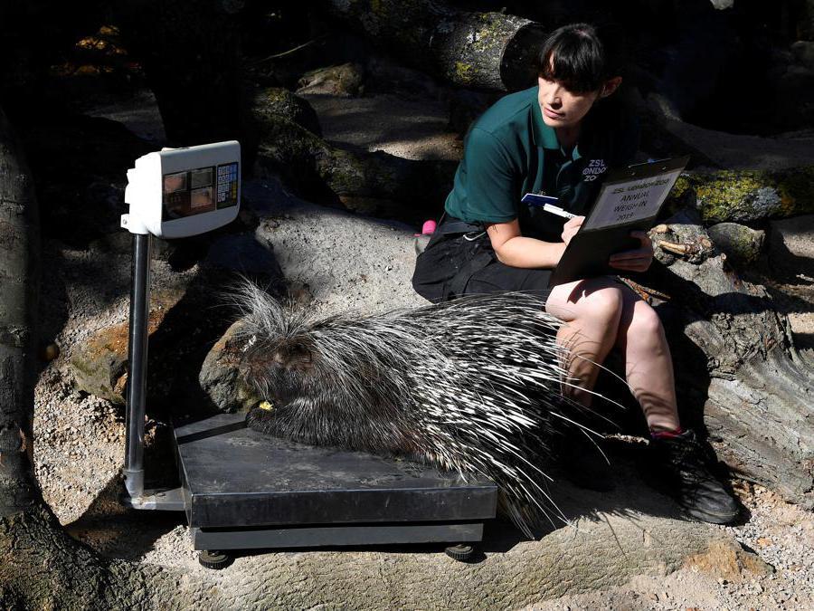 Un porcospino sale sulla pesa allo zoo di Londra durante la prima giornata dell'«annual weight-in 2019» organizzato dalla Zoological Society of London (ZSL) REUTERS/Toby Melville