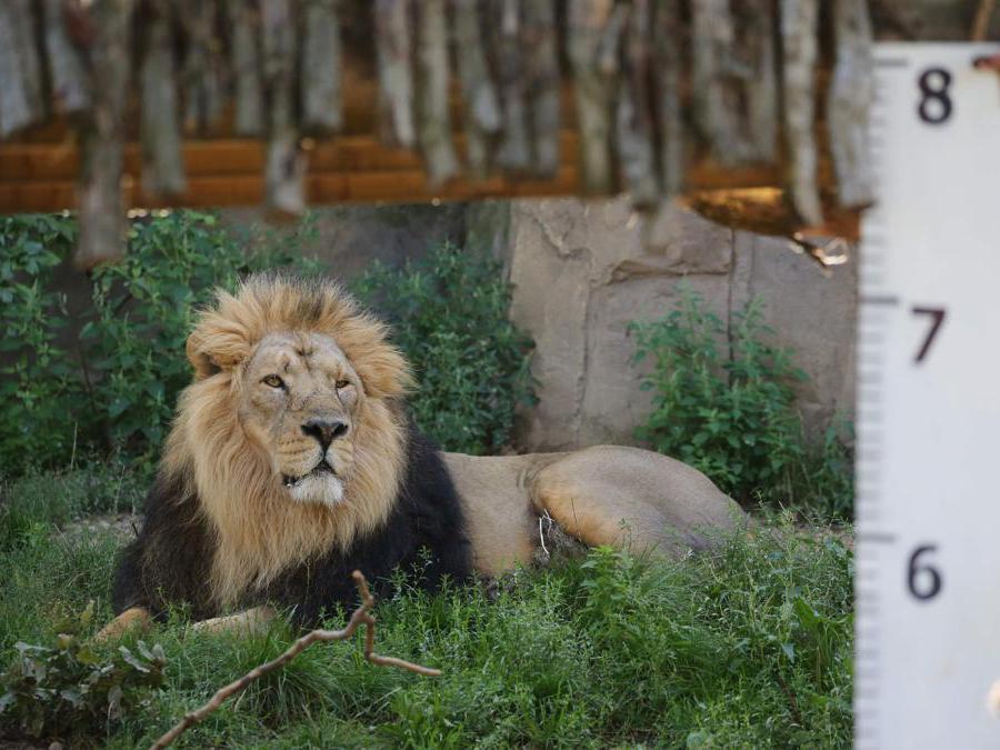 Un maschio di leone asiatico al  London Zoo  (Photo by Isabel INFANTES / AFP)