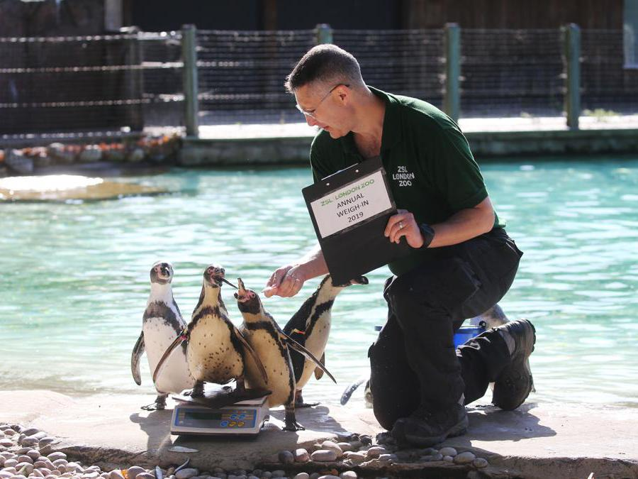Pesciolini per attirare i pinguini sulla bilancia al London Zoo: è il primo giorno dell'«annual weight-in 2019» organizzato dalla Zoological Society of London (ZSL)   (Photo by Isabel INFANTES / AFP)