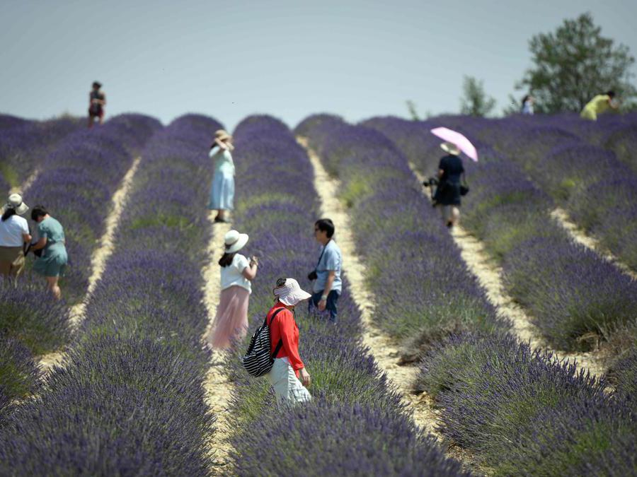Coltivazioni di lavanda a  Valensole,  nel sud-est della Francia    (Photo by GERARD JULIEN / AFP)
